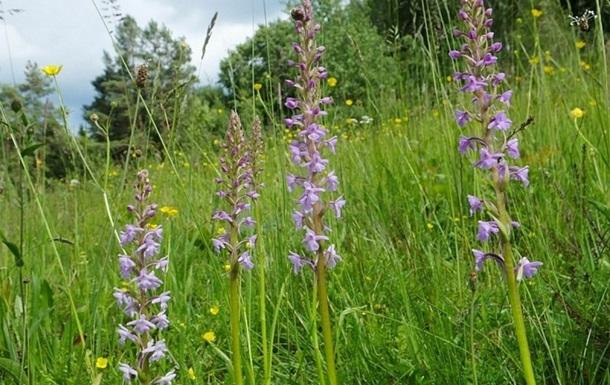 В Луганской области обнаружили редкую дикую орхидею