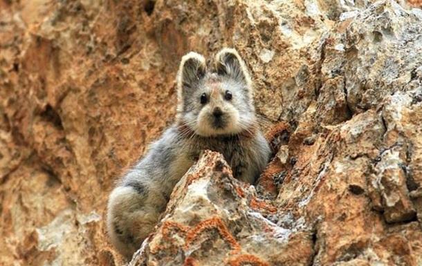 У Китаї вперше потрапив на відео  чарівний кролик