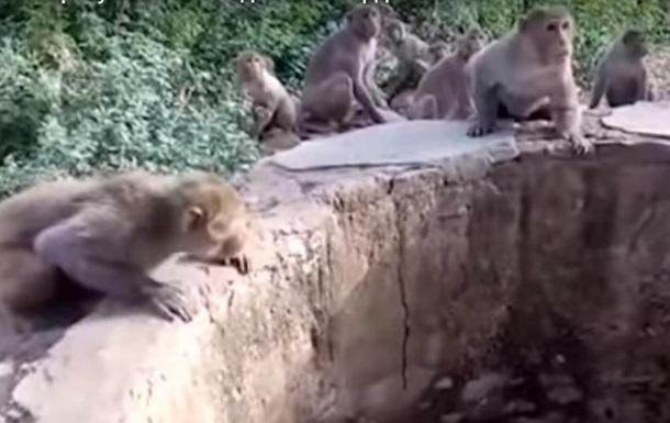 В Индии обезьяны помогли спасти леопарда