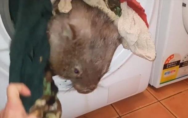 В Австралии вомбат залез в стиральную машину