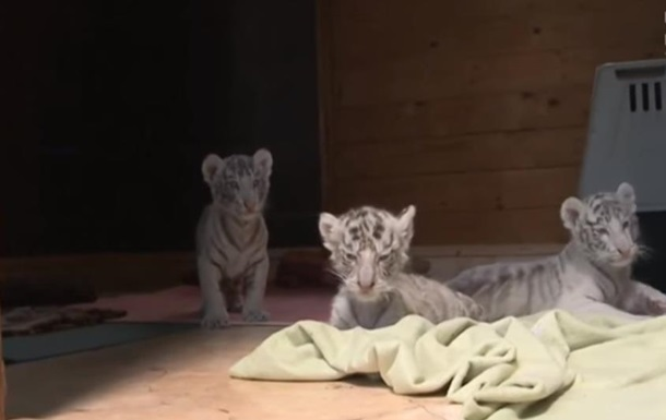 У зоопарку Угорщини народилися четверо білих тигренят