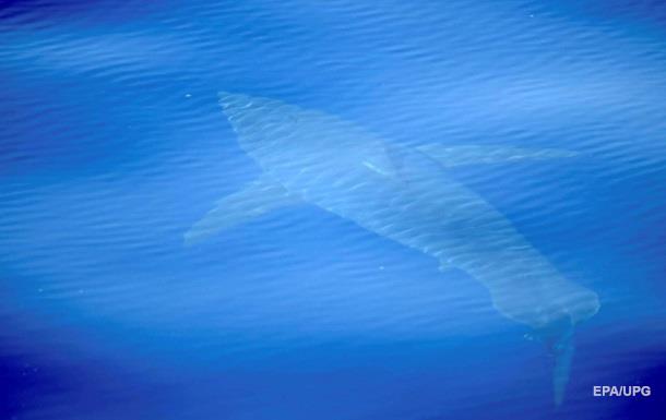Біля берегів Іспанії вперше за 40 років побачили білу акулу