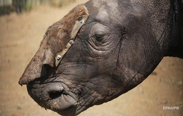Самку вымирающего вида носорога убили из-за сантиметра рога
