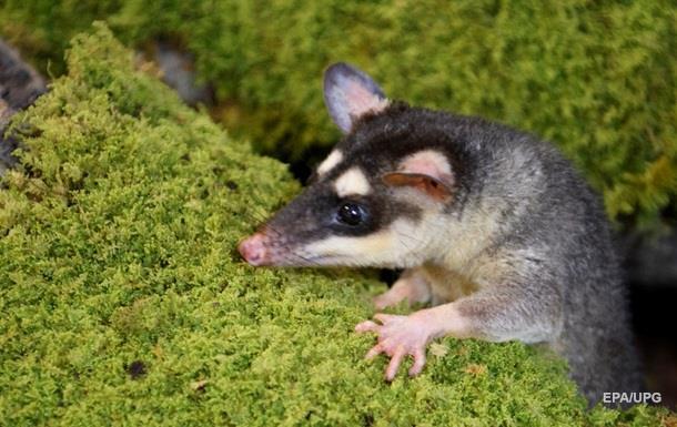 В Австралії опосум застряг головою в банці