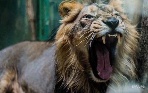 В селе под Днепром сбежавший лев напал на свиней