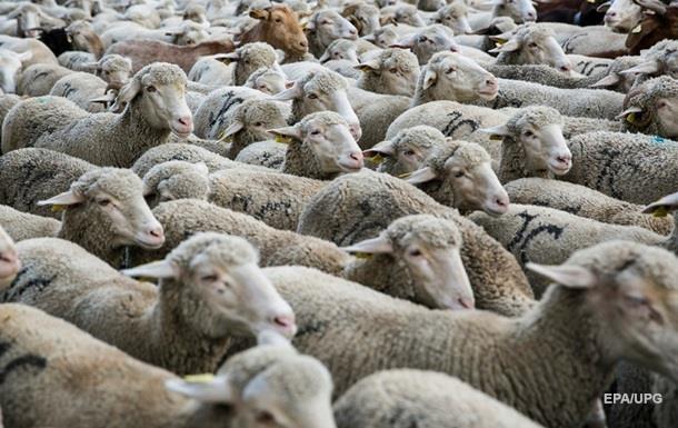 В Азербайджане легковушка сбила насмерть 57 овец
