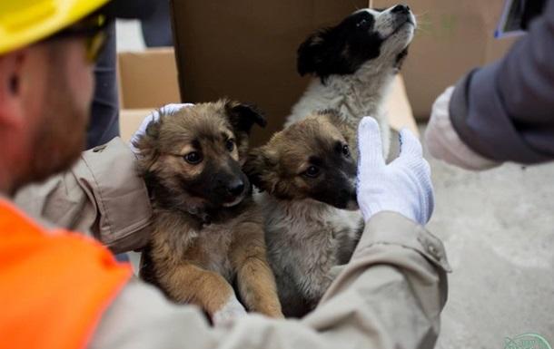 Перші щенята з Чорнобиля знайшли свій дім у США
