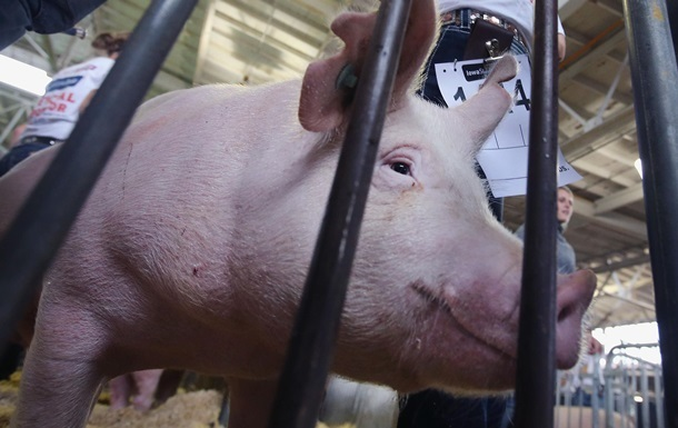 Под Измаилом уничтожили больше трех тысяч свиней из-за АЧС