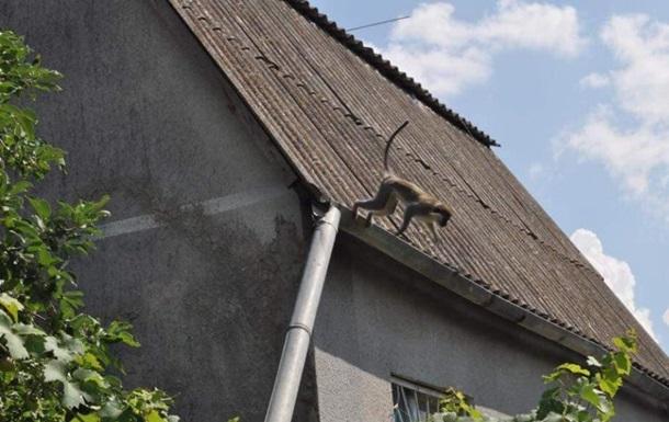 Под Одессой поселилась стая сбежавших из зоопарка обезьян