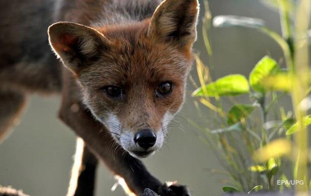 В Днепропетровской области люди жалуются на нашествие лис