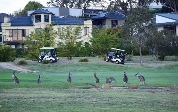Столицу Австралии  атаковали  кенгуру