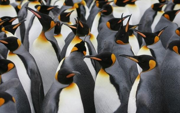 Найбільша у світі колонія пінгвінів скоротилася в 10 разів