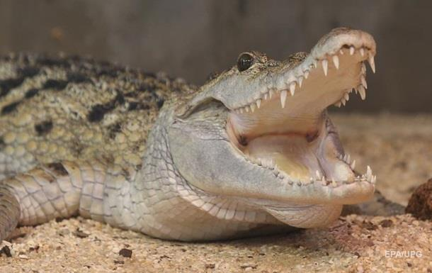 Крокодил ледь не відірвав дресирувальнику руку