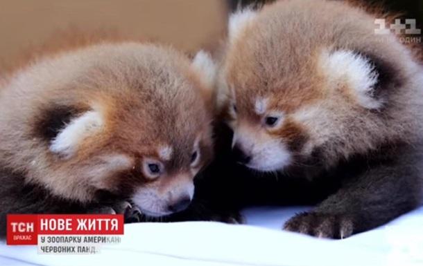 У зоопарку США народилися дитинчата червоної панди