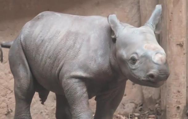 Редкий черный носорог родился в Великобритании