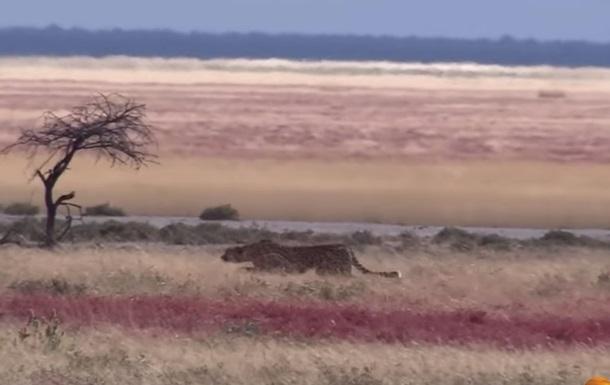 Зрелищную охоту гепарда на газель сняли на видео