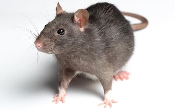 В одеській піцерії жінку вкусив щур