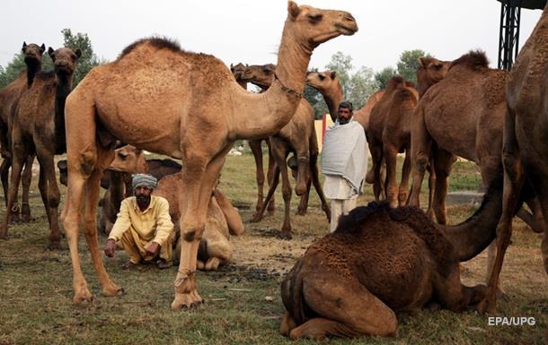 В Індії верблюд застряг у машині після ДТП