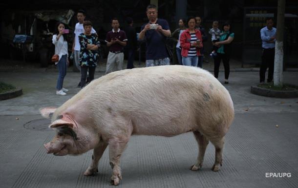 Британец вывел свинью погулять по городу и угодил под суд