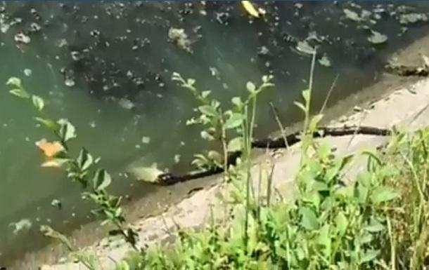 В Харькове сняли поймавшую рыбу крупную змею