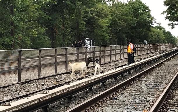 У Нью-Йорку кози завадили руху поїздів метро