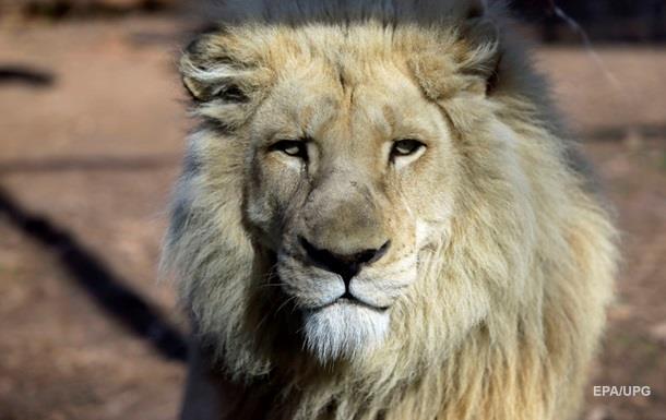 В ЮАР туристы сняли однополую любовь двух львов