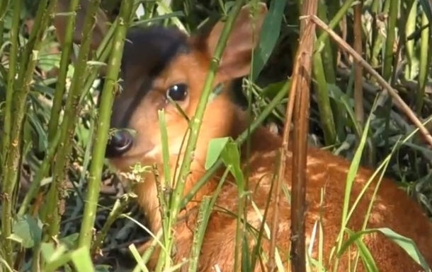 В киевском зоопарке родился олененок, который лает как собака