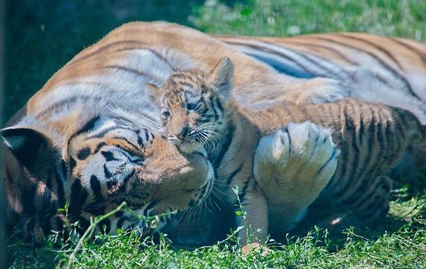 У харківському екопарку народилися амурські тигренята