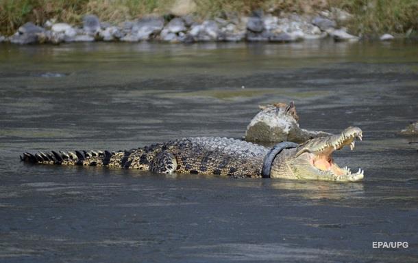 На пляже в Ялте нашли мертвого крокодила