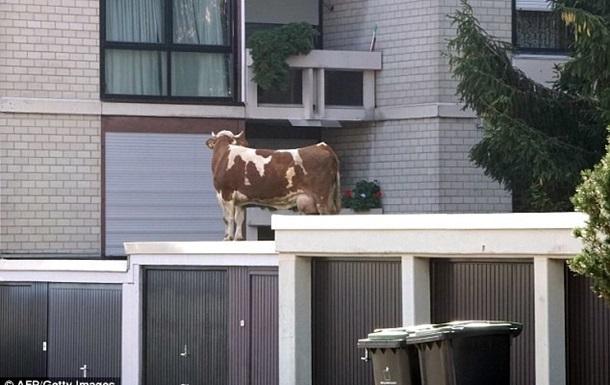 Корову, що втекла з ферми, виявили на даху гаража