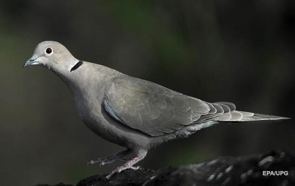 В Днепре голубь прокатился на крыше авто