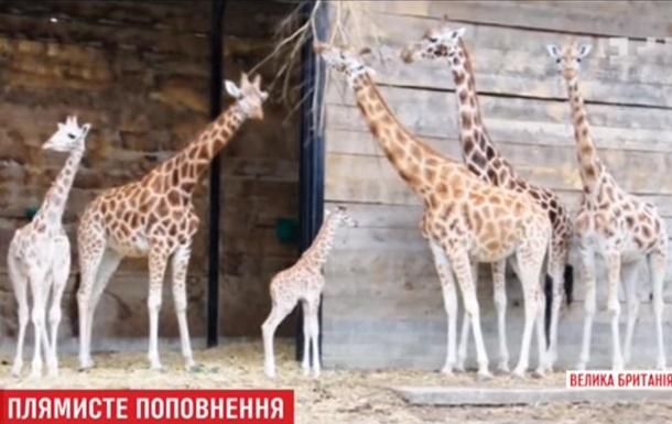 У Британії народилося дитинча рідкісного жирафа