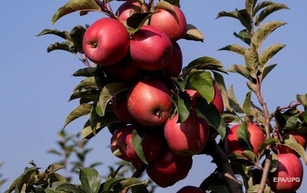 В Австралии нашли яблоки с иглами