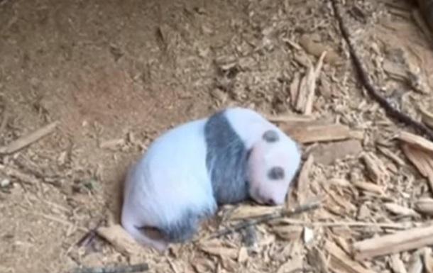 У Китаї вперше в дикій природі знайшли дитинча панди