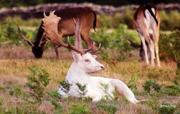 Чихающий олень-альбинос попал на фото