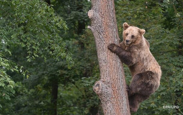 Туша убитого медведя  отомстила  охотнику