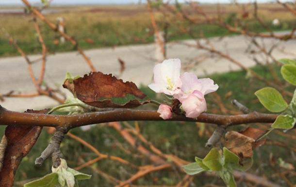 В Бердянске зацвели сливы и яблони