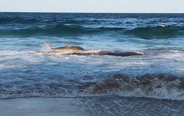 Акула викинулася на берег, щоб поїсти