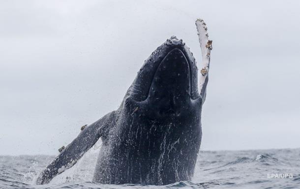 В Аргентині два дні рятували горбатого кита