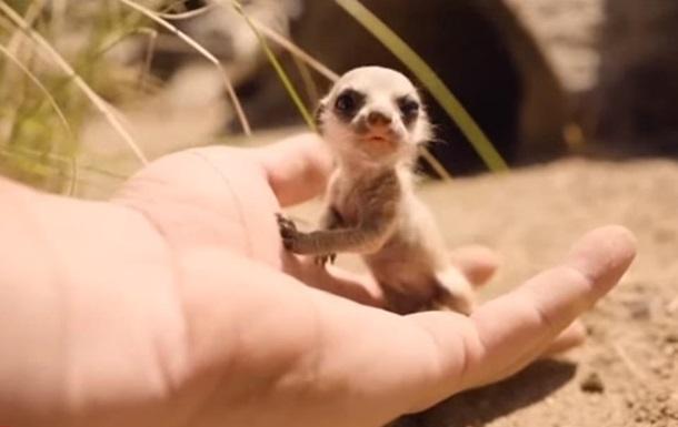 У парку Сіднея народилися крихітні сурикати