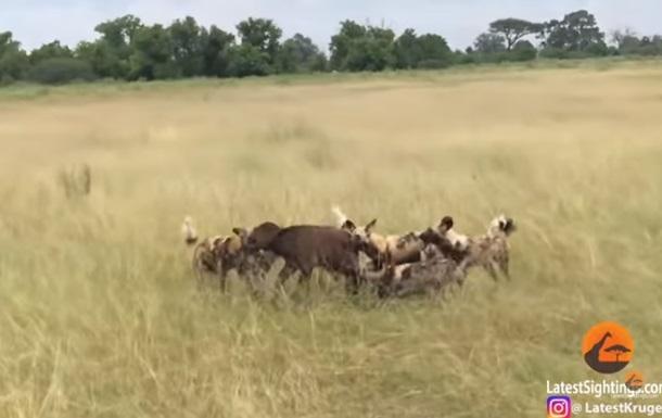 Гієни вбили п ятьох буйволят на очах батьків