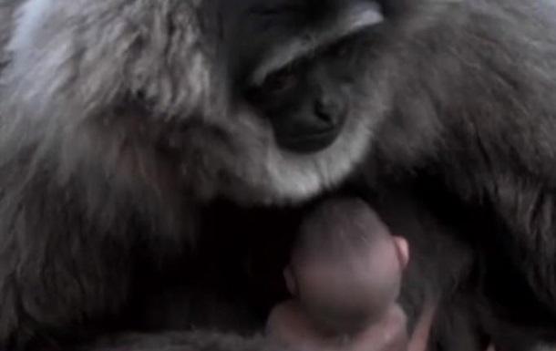 У британському зоопарку народився сріблястий гібон