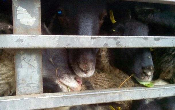 В порту Одесской области в фуре умирают от голода 300 овец