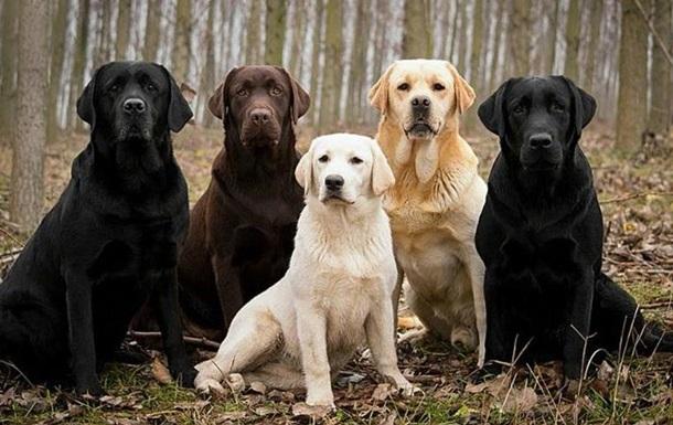 Собаки можуть визначати хворих на малярію за запахом шкарпеток
