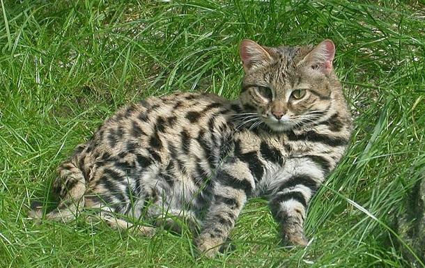 Найбільш смертоносніша кішка на землі мешкає в Африці