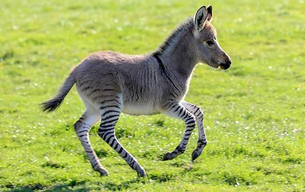 У Великобританії народився гібрид зебри й осла