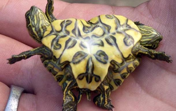 Рыбак нашел живых черепах-сиамских близнецов