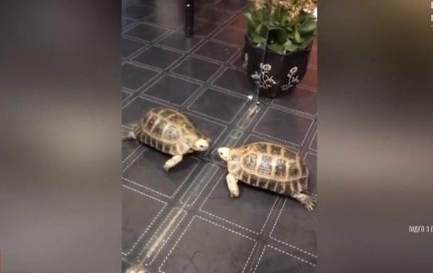 Драку черепахи с  врагом  в зеркале сняли на видео