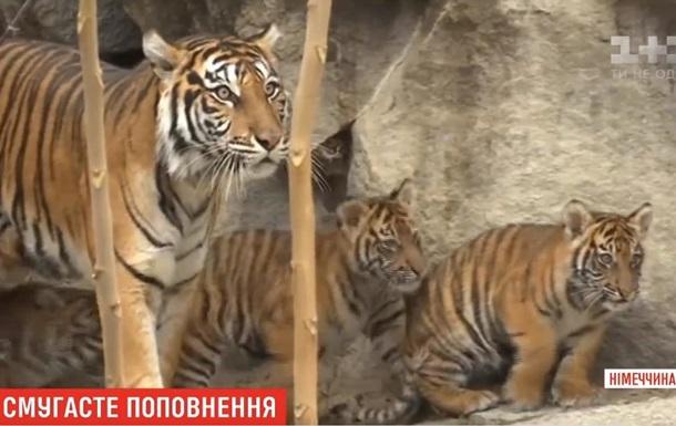 У зоопарку Берліна показали рідкісних тигренят