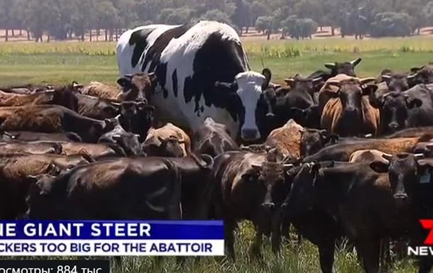 Исполинского быка побоялись убивать на скотобойне